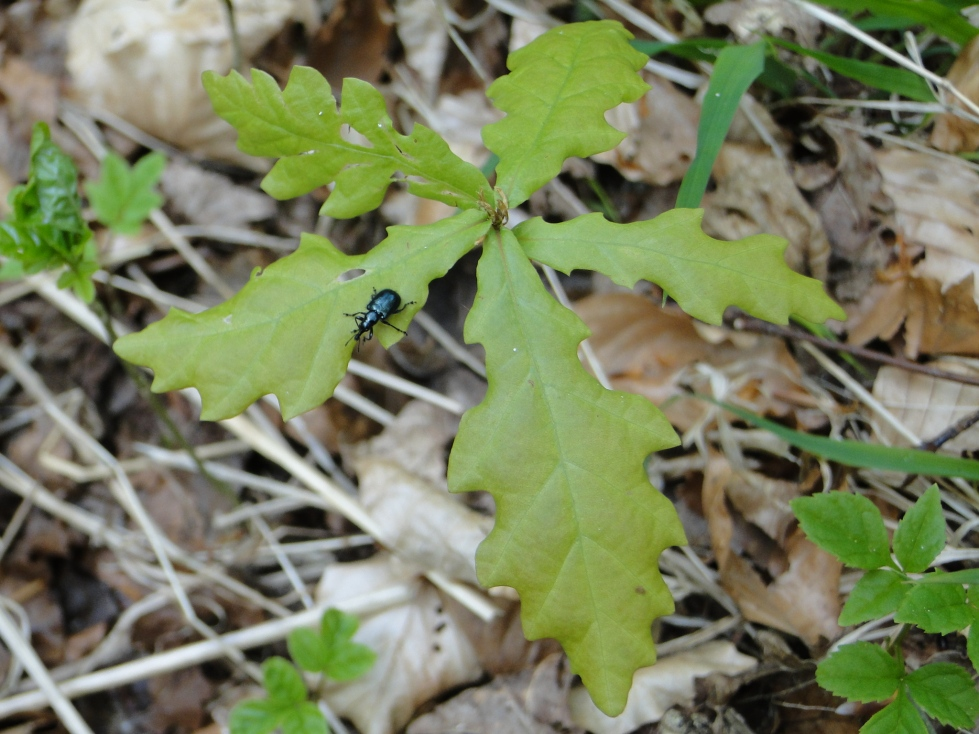 Oak Seedling in Spring