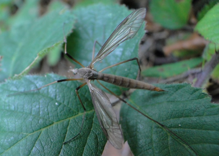 Tipula (?) Crane Fly Autumn