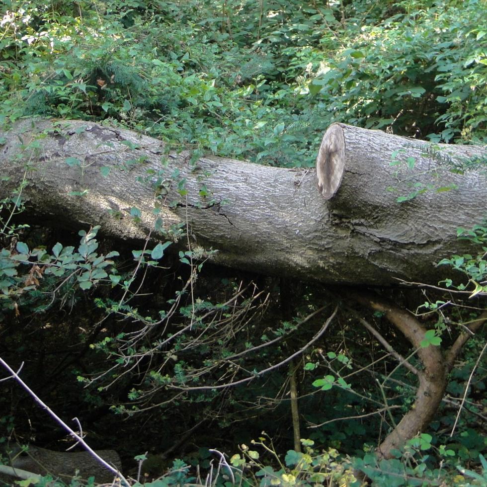 Squashed yew