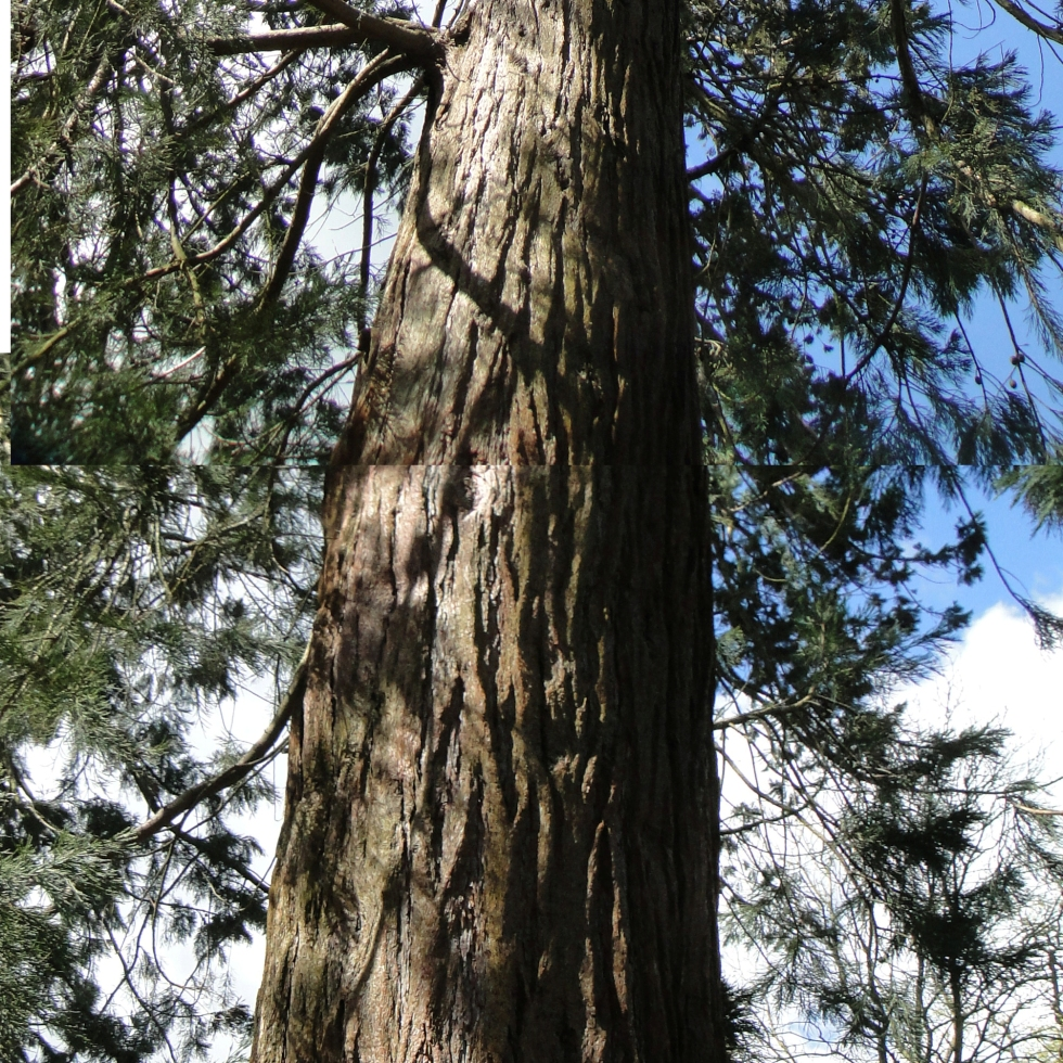 Giant Redwood at Tortworth Arboretum