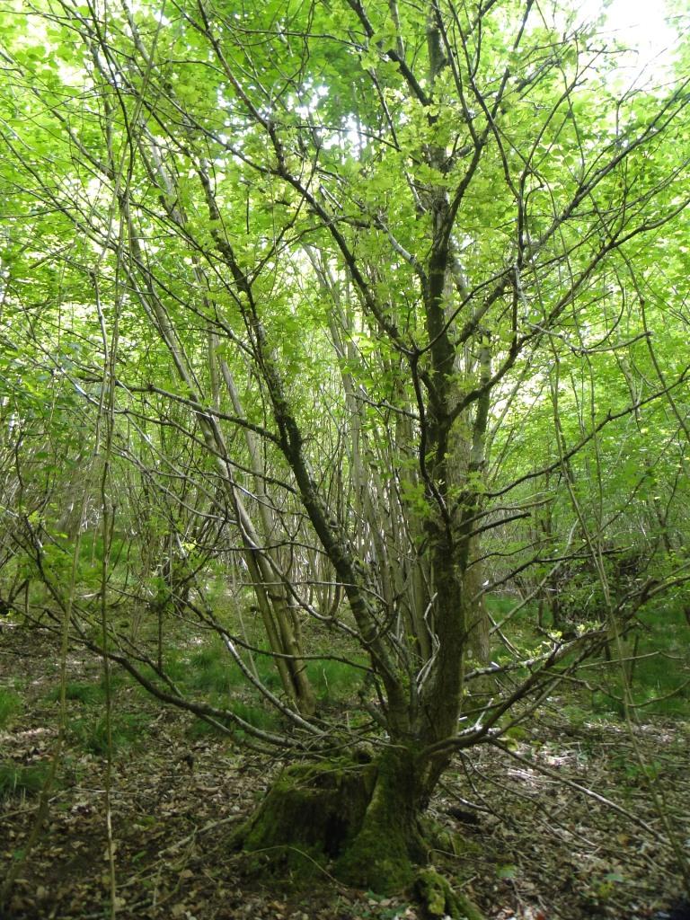 Zombie oak