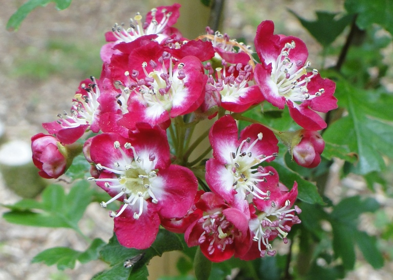 Red may flower