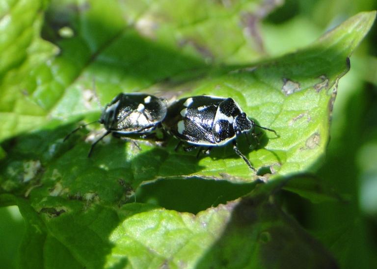 Brassica bugs