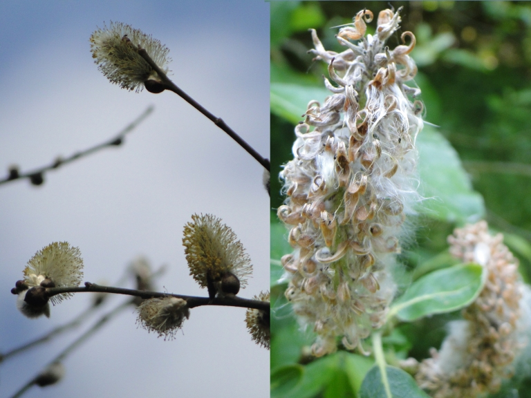 Goat willow - male & female