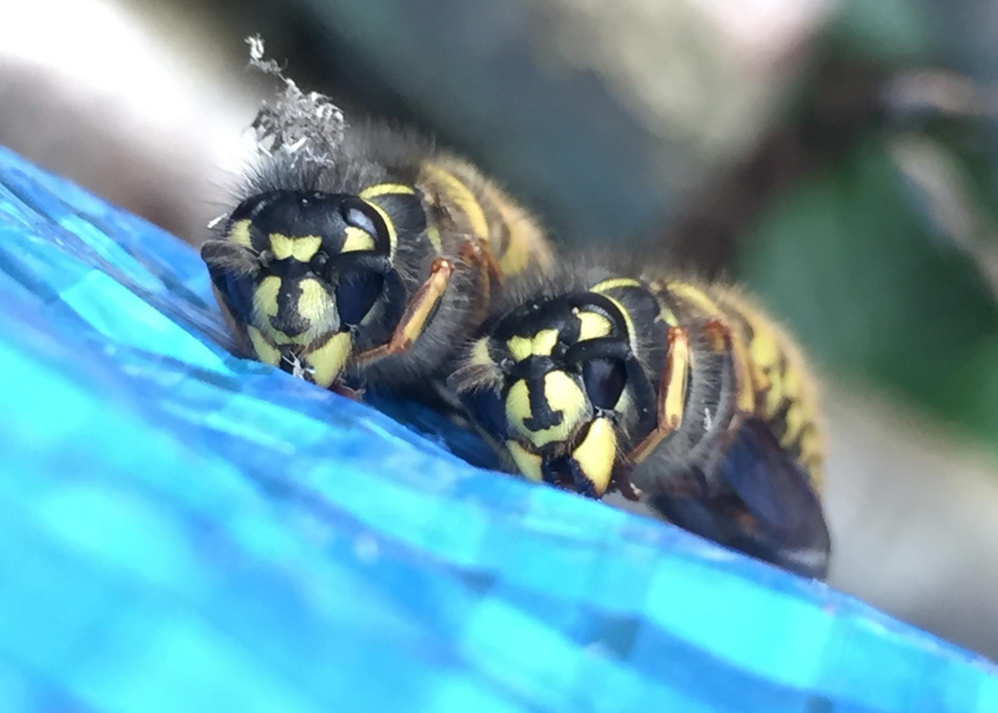 Hibernating wasps