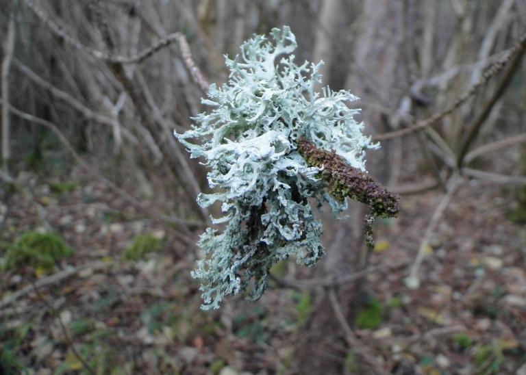 Shrubby lichen