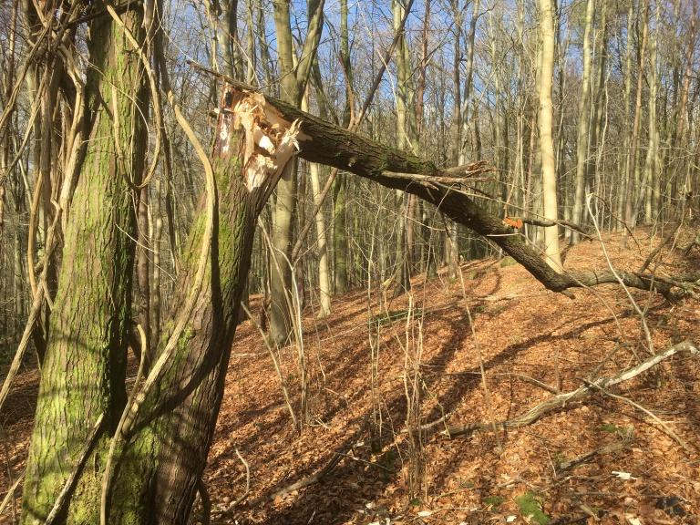 Goat willow - victim of Doris