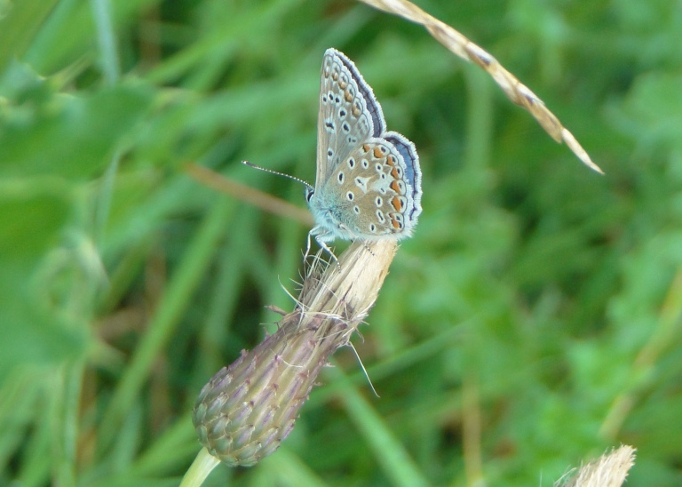 Common blue (male)