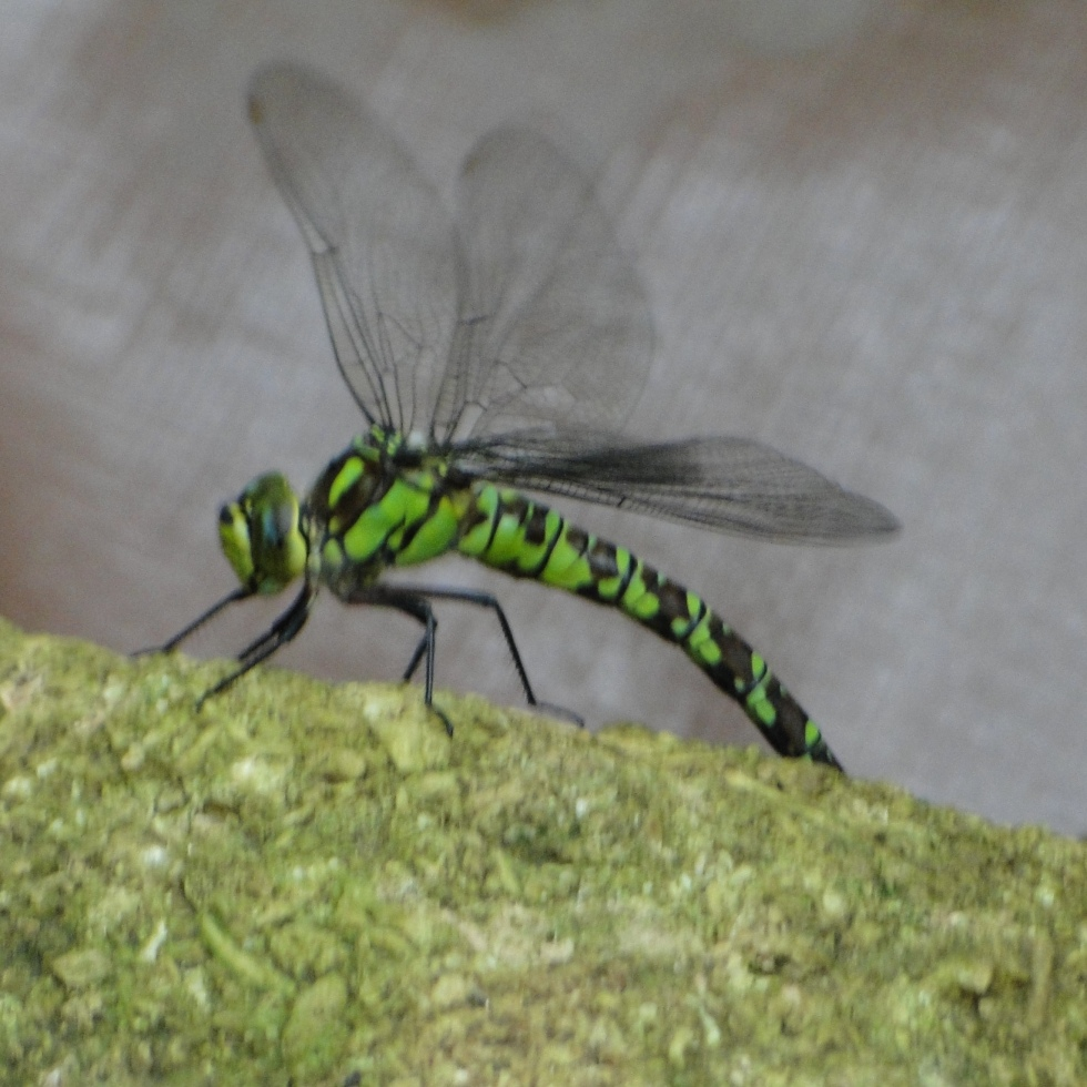 Southern hawker (blurry)