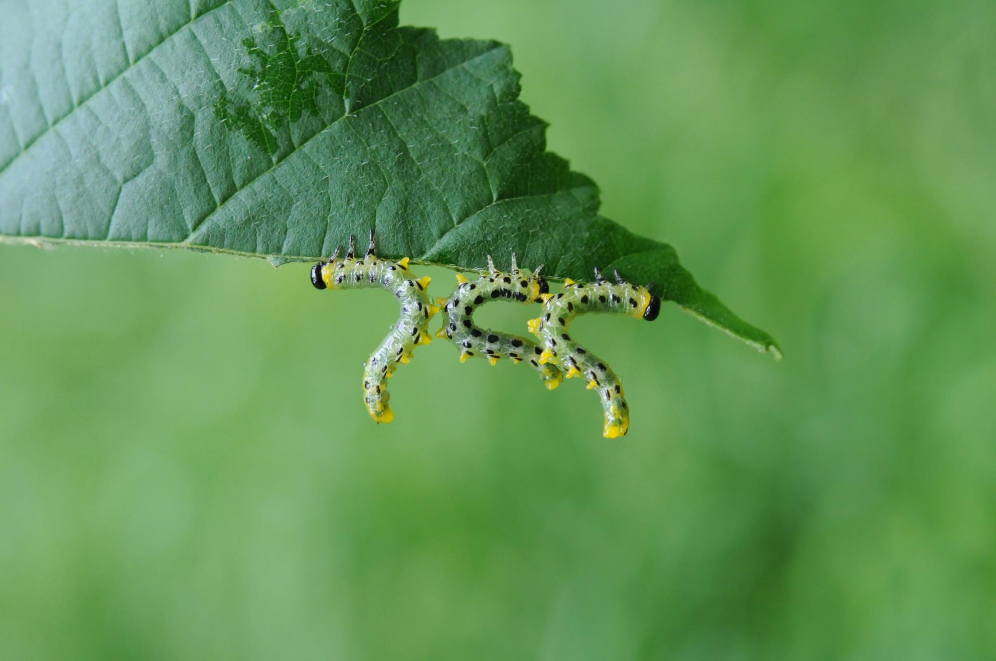 Hazel sawfly larvae